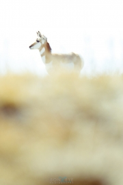 custer_state_park_wild_life_071